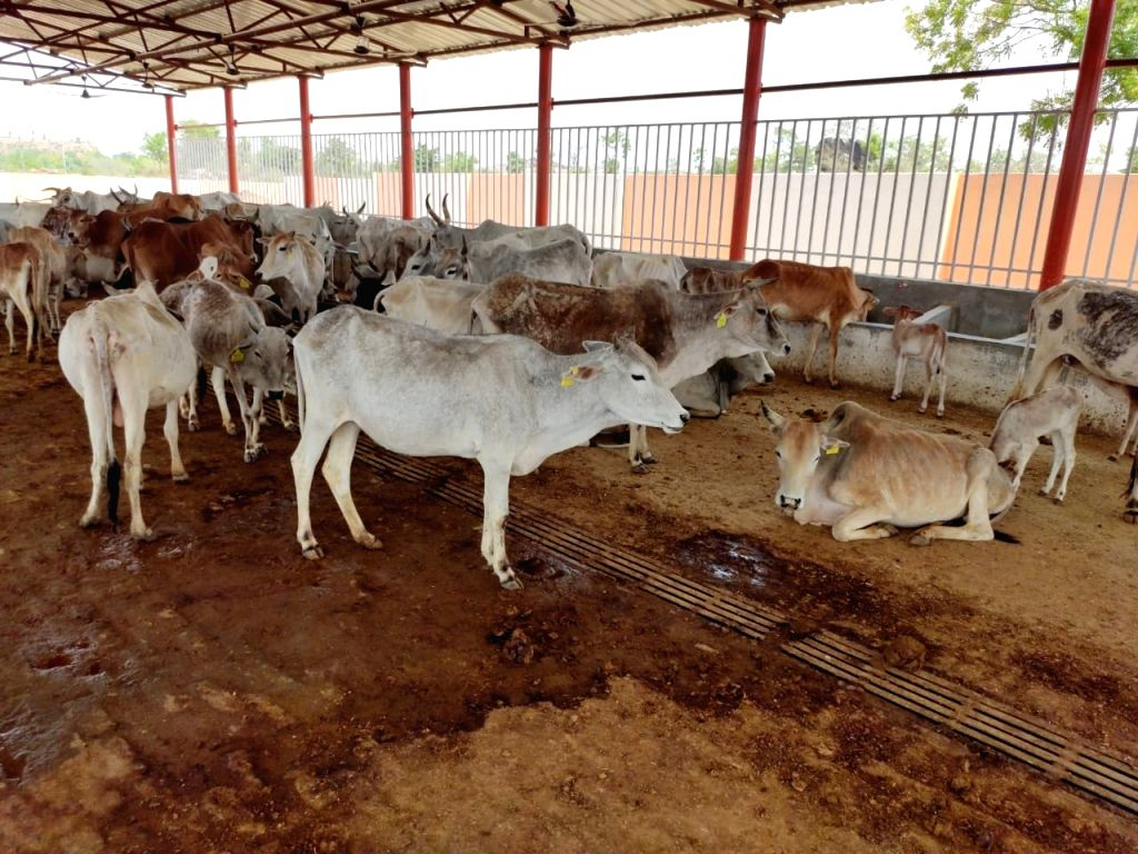 Cows at a cowshed in Lalitpur.