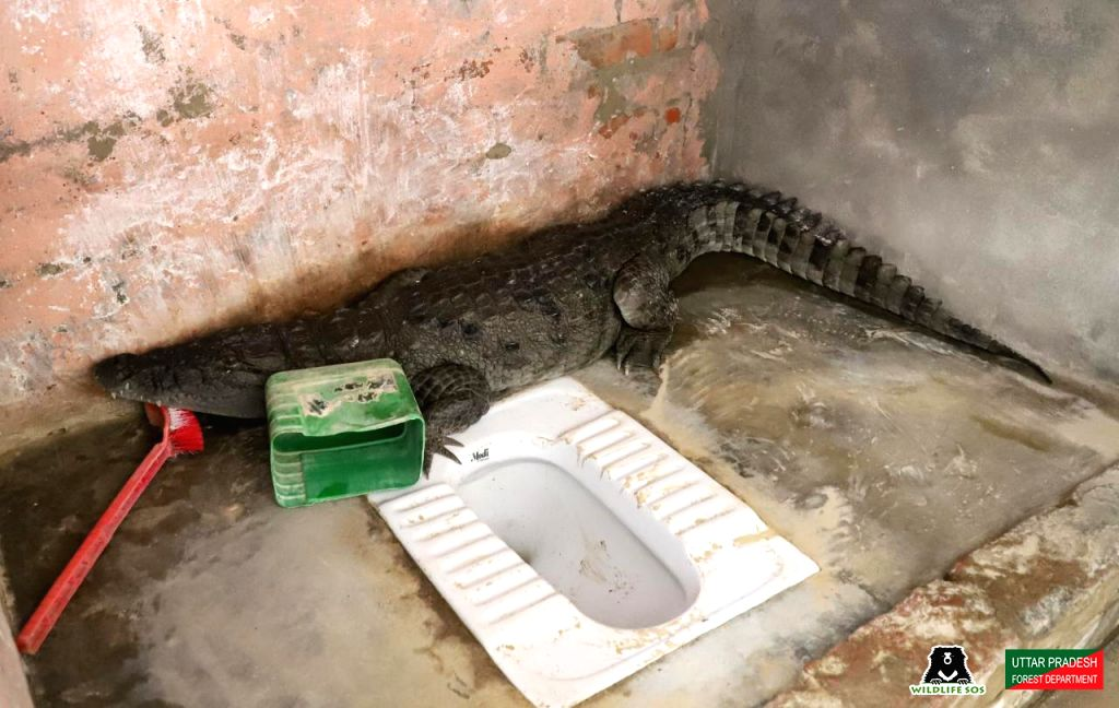 Crocodile found perched on toilet in UP villager's house.