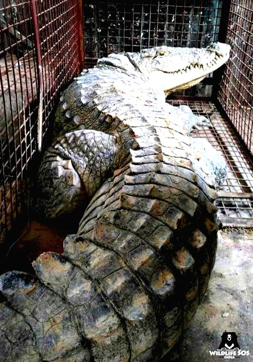 Crocodile strikes panic in UP village, rescued