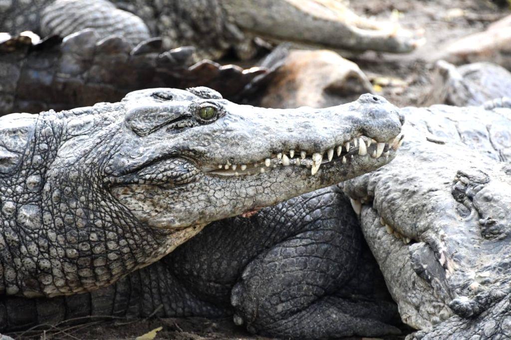 Crocodiles may shed real tears for food at Chennai reptile zoo.