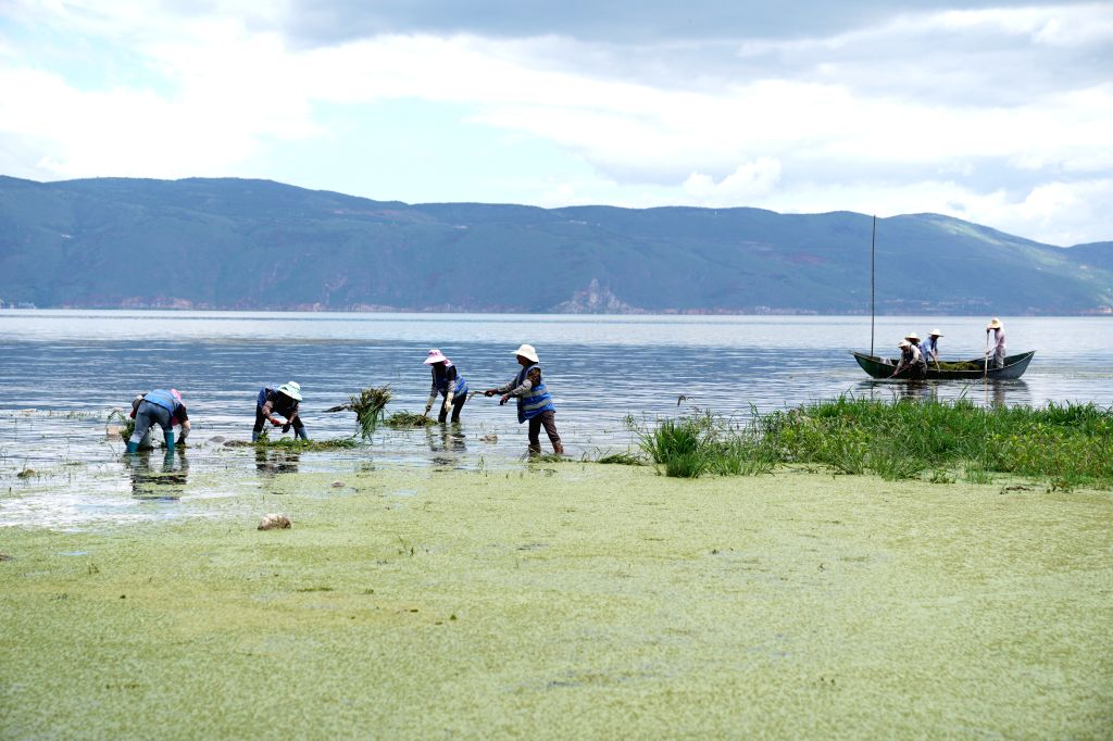 DALI, Aug. 10, 2019 - Villagers eliminate water plants in Erhai Lake in Dali, southwest China's Yunnan Province, Aug. 10, 2019. Water quality of Erhai Lake has improved with active treatment since ...