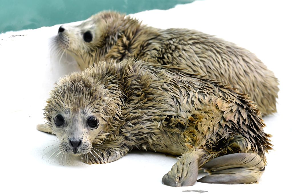 Newly-born harbor seal calves are seen at Sunasia Ocean World in Dalian, northeast China's Liaoning Province, March 5, 2015. A harbor seal gave birth to twins on ...