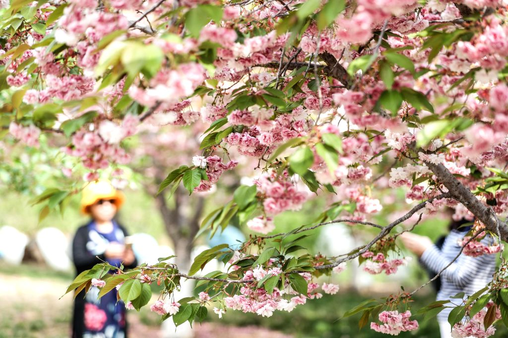 DALIAN, May 11, 2019 - Cherry blossoms are seen at the 203 Cherry Garden in Lyushunkou District of Dalian, a coastal city of northeast China's Liaoning Province, May 11, 2019.