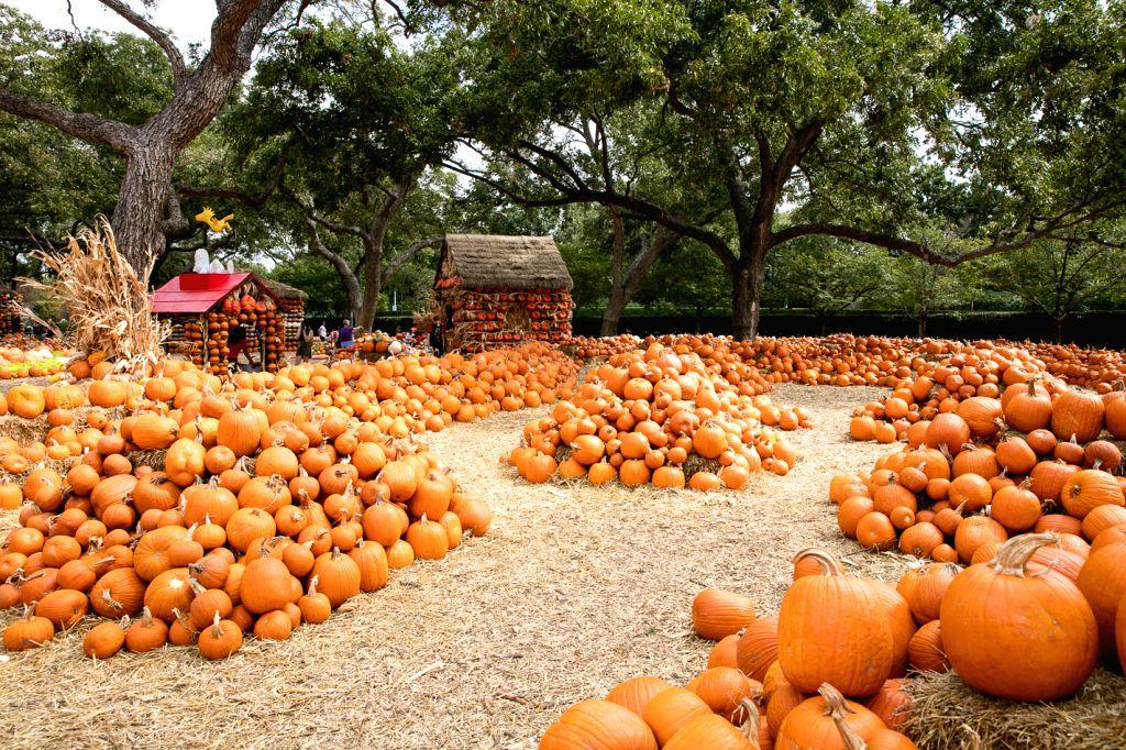 DALLAS, Oct. 11, 2019 - Photo taken on Oct. 10, 2019 shows pumpkins are patched inside Dallas Arboretum's Pumpkin Village, Texas, the United States. The Dallas Arboretum's Pumpkin Village features ...