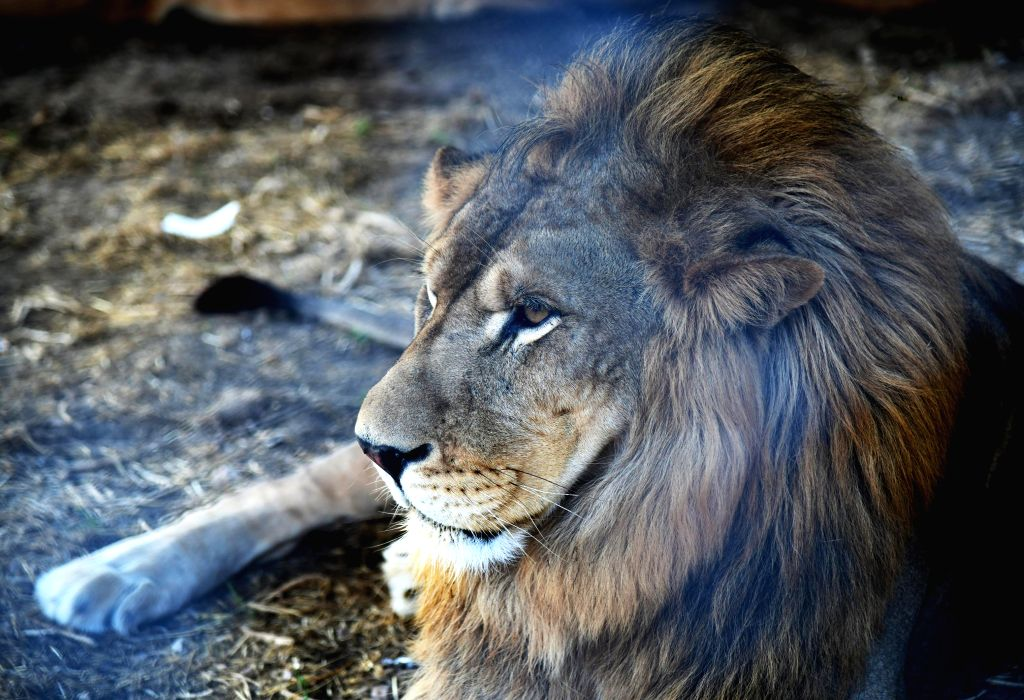 """DAMASCUS, July 31, 2019 - A lion is seen at the """"Sham Gathers Us"""" (Sham means Damascus) festival in Damascus, capital of Syria, July 30, 2019. There are a few tigers and lions left at the ..."""