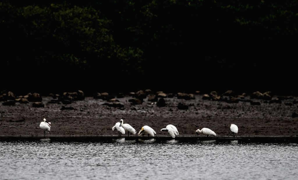 DANZHOU, March 7, 2019 - Black-faced spoonbills rest at the shallows in Xinying mangrove national wetland park in south China's Hainan Province, March 6, 2019.According to the Hainan Zoological ...