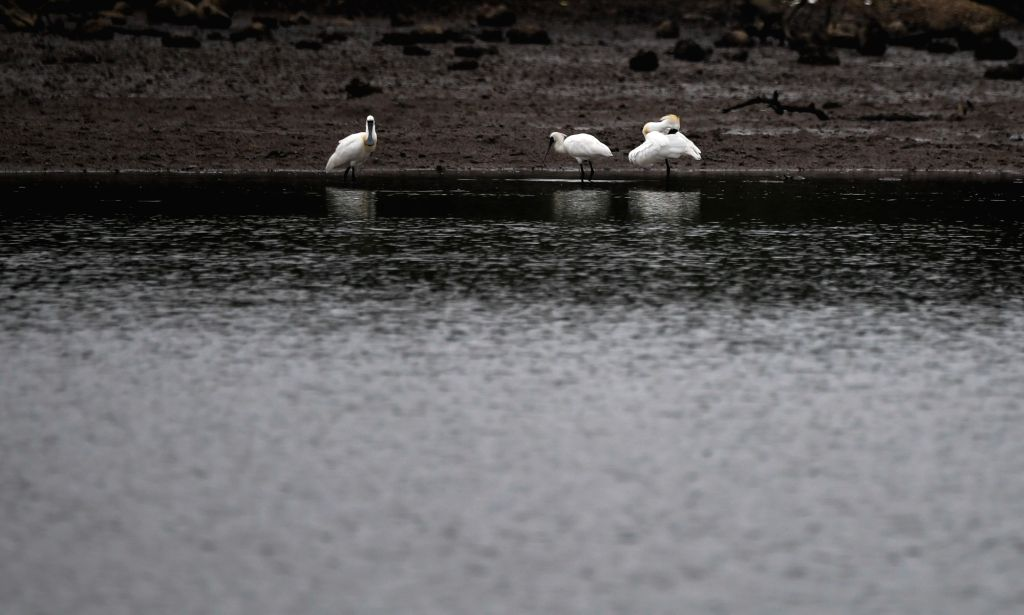 DANZHOU, March 7, 2019 - Three black-faced spoonbills rest at the shallows in Xinying mangrove national wetland park in south China's Hainan Province, March 6, 2019. According to the Hainan ...