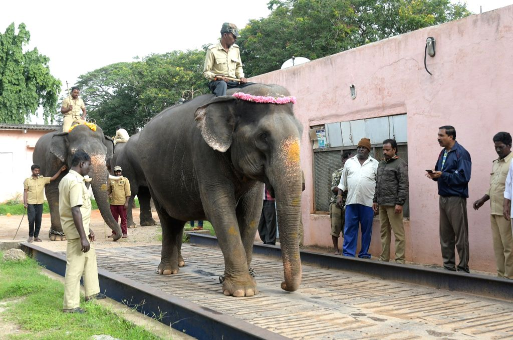 Dasara elephants being weighed on an electronic weighbridge ahead of the 2019 Dasara festival, in Mysuru, on Aug 27, 2019.