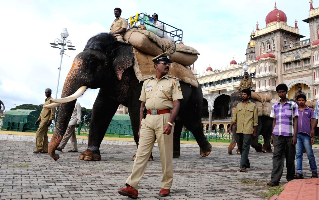 Dasara elephants during rehearsals for carrying Howdah for upcoming Mysore Dasara Mahotsav 2014 in Mysore on Aug 31, 2014.