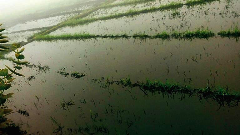 Crude oil inundates fields after a  leak in Salaya-Mathura IOC pipeline in Dausa district of Rajasthan on Dec 22, 2014.