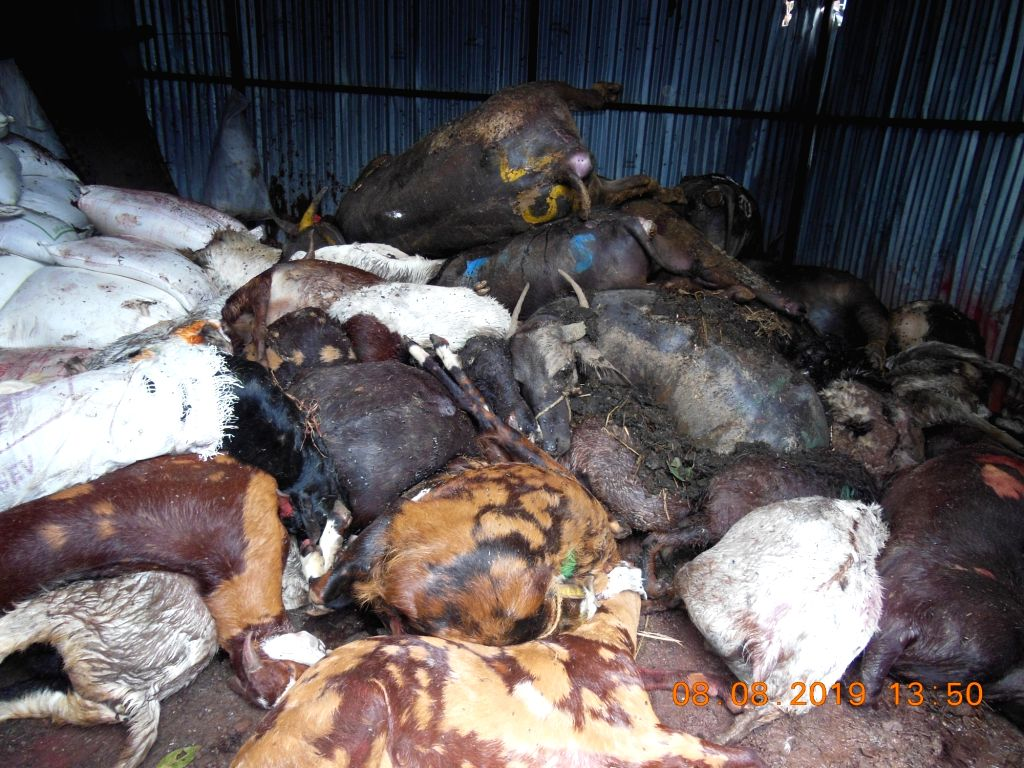 Dead animals in a shed  in Deonar Abattoir on Aug 8, 2019.