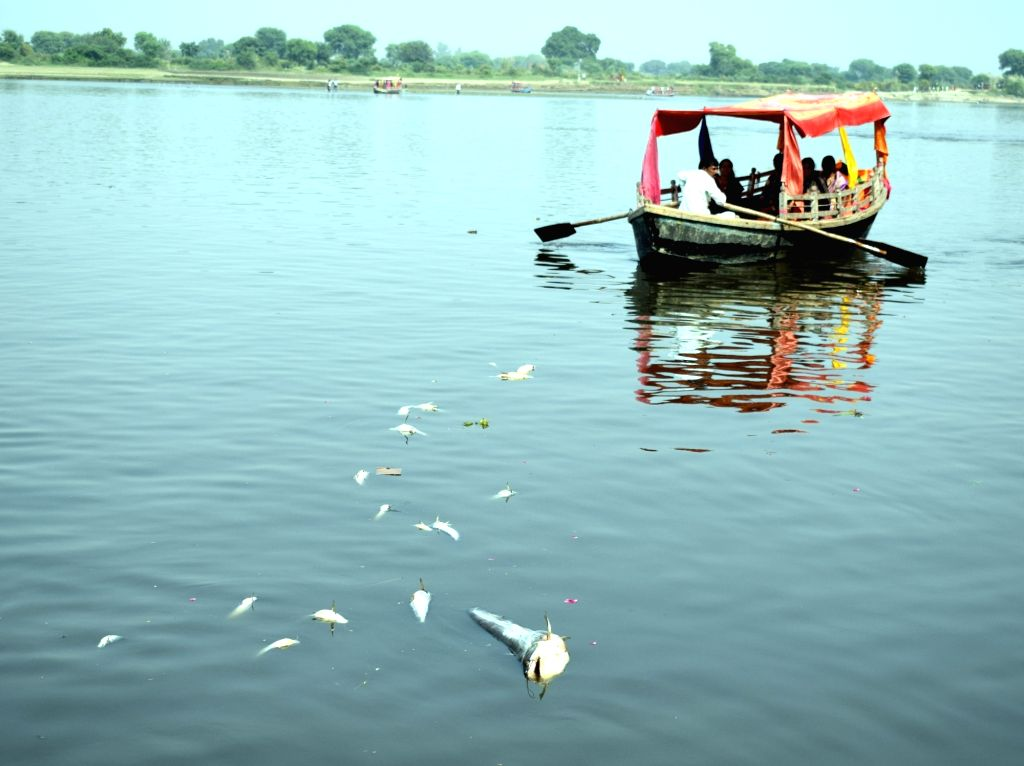 Dead fishes float over the waters of Yamuna river following the discharge of polluted water from the Okhla Barrage in Delhi; in Vrindavan, Uttar Pradesh on Nov 3, 2018.