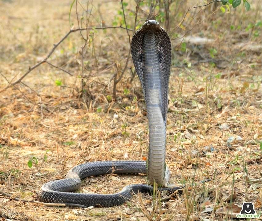 Deadly cobra comes home for dinner!.