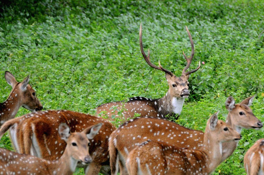 Deer`s plays at Bandeepura National Park in Bandeepura on Saturday 17th August 2013. (Photo::: IANS)