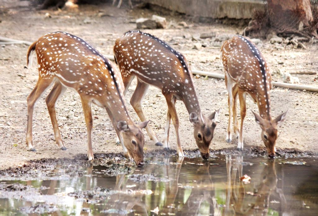 Deers drink water from a pond to quench their thirst on a hot sunny day, at Maharajbagh zoo in Nagpur on May 23, 2018.
