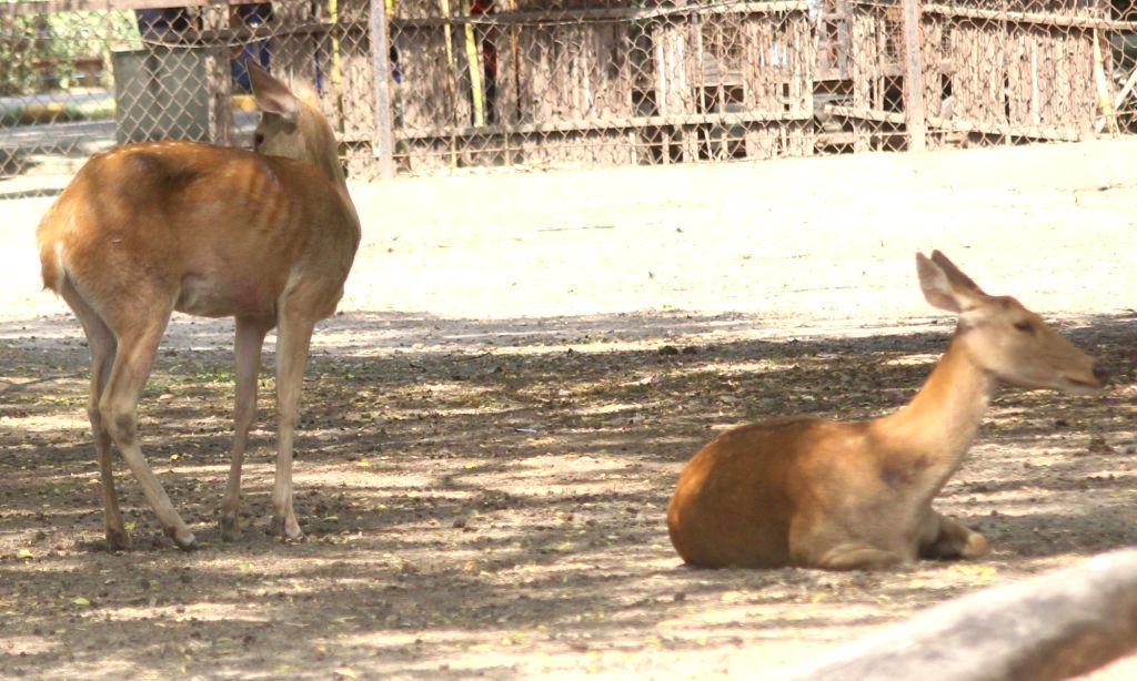 Deers seen inside their enclosure at the National Zoological Park in New Delhi, on June 1, 2019.