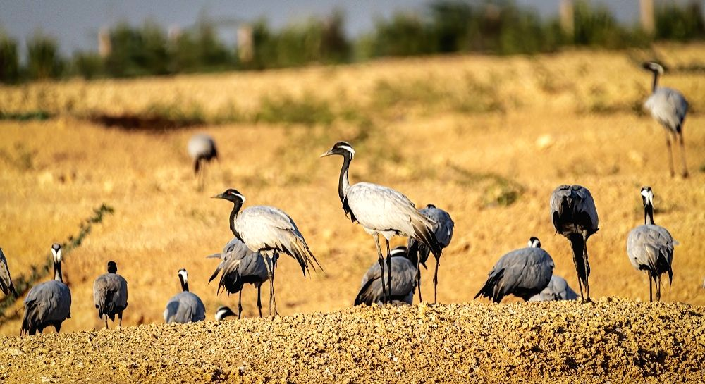 Demoiselle cranes: It takes an Indian village to protect 'young ladies'.