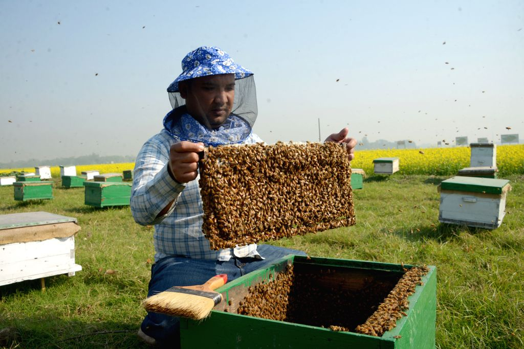 DHAKA, Jan. 3, 2019 - A bee keeper is busy collecting honey at a mustard field in Munshiganj on the outskirts of Dhaka, capital of Bangladesh, Jan. 3, 2019. Winter in Bangladesh is the most favorable ...
