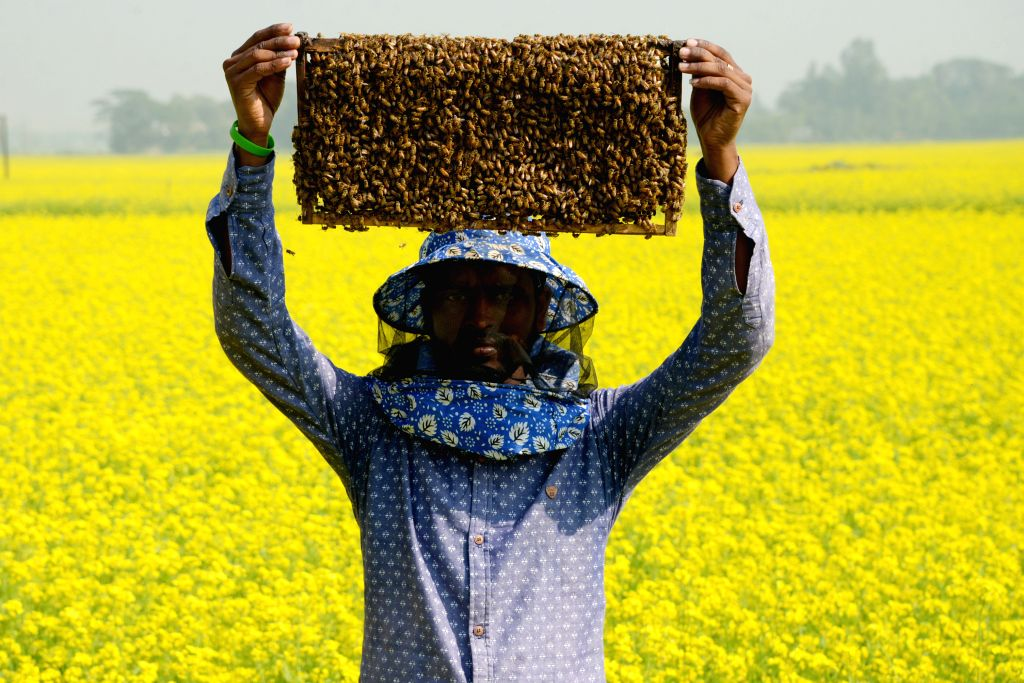 DHAKA, Jan. 3, 2019 - A bee keeper  shows a beehive with bees at a mustard field in Munshiganj on the outskirts of Dhaka, capital of Bangladesh, Jan. 3, 2019. Winter in Bangladesh is the most ...