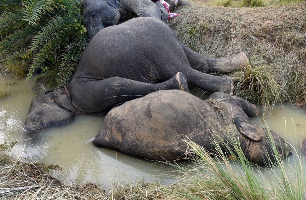 : Dhenkanal: The carcass of two of the seven elephants who died of electrocution after coming in contact with a live wire near Kamalanga village in Odisha's Dhenkanal district on Oct 27, 2018. ...