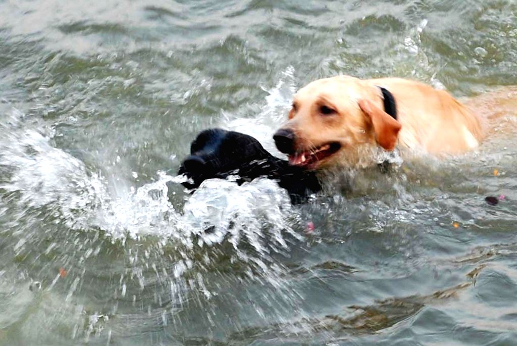 Dogs cool themselves in Ganga waters on a hot day in Varanasi on May 17, 2017.