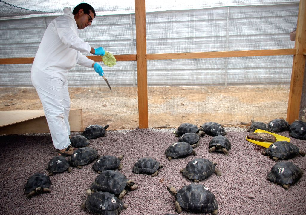 Dozens of the endangered green sea turtles began their journey to the ocean after hatching in nesting sites on several beaches of Ecuador's Galapagos Islands. (File Photo: Xinhua/Management of the Galapagos National Park of Ecuador/IANS)