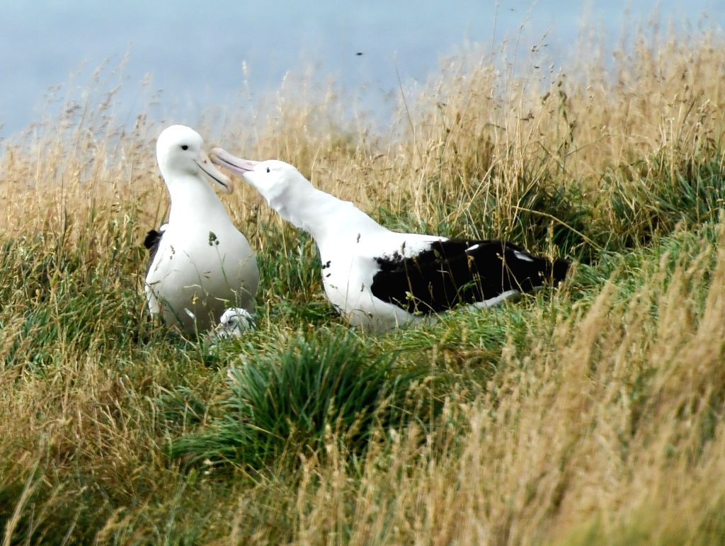 DUNEDIN, Feb. 25, 2019 - Northern Royal albatrosses are seen at the Royal Albatross Centre in Taiaroa Head, Dunedin, New Zealand, on Feb. 24, 2019. Every year over 40 pairs of Northern Royal ...