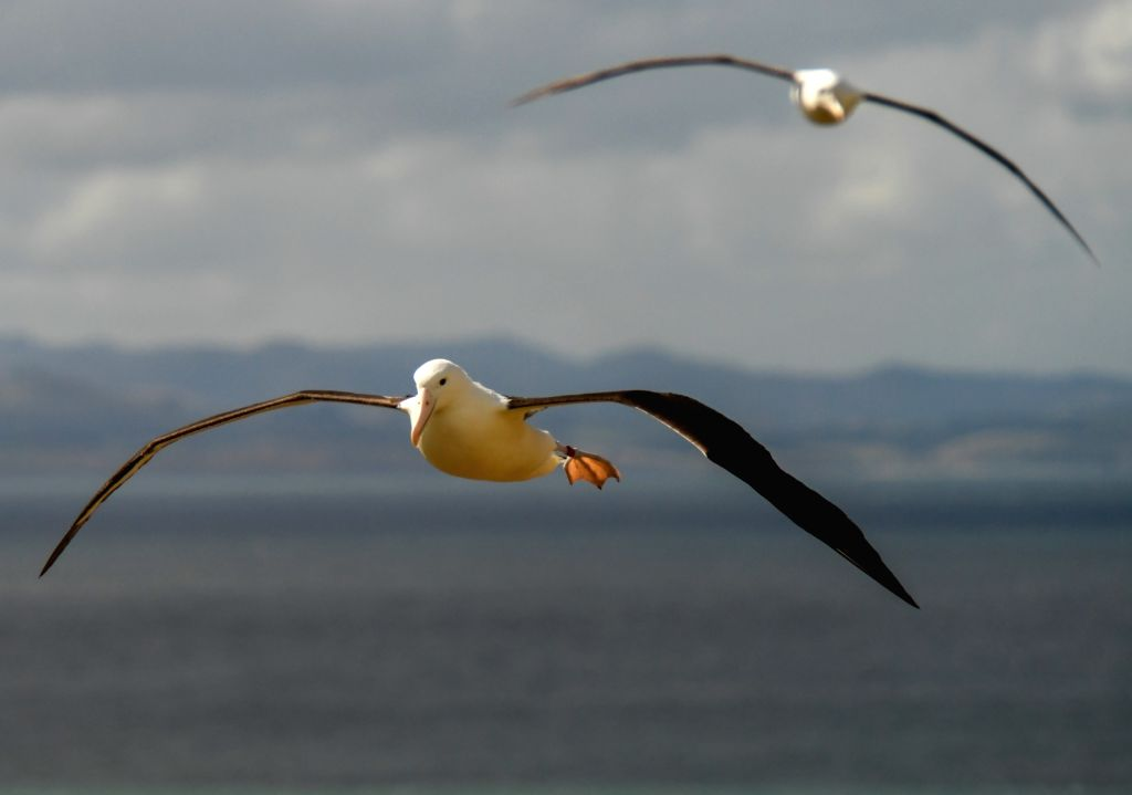 DUNEDIN, Feb. 25, 2019 - Northern Royal albatrosses fly at the Royal Albatross Centre in Taiaroa Head, Dunedin, New Zealand, on Feb. 24, 2019. Every year over 40 pairs of Northern Royal albatrosses ...