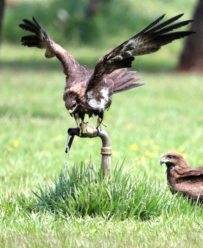 Eagles quenching their thirst by drinking water from a running tap in a Park as temperatures have been souring high, in Bengaluru on March 5, 2019.