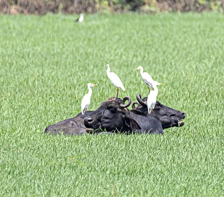 Egret's life lesson - be patient and listen to your instinct.(photo:IN)