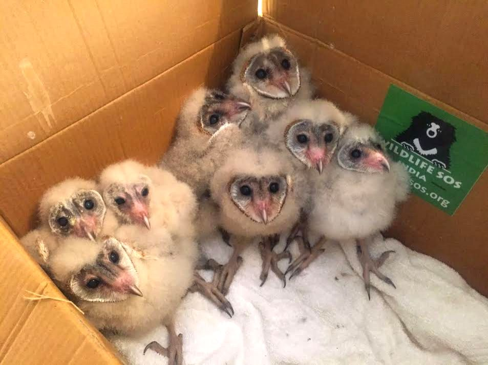 Eight Barn owls rescued from deep well in Mathura