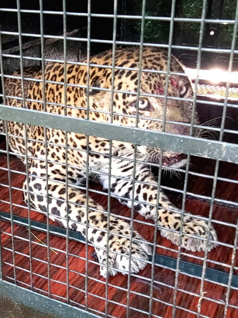 Eight year old leopard was trapped in a cage set up by a forest team at Kammanahalli in KR Pet Taluk on Saturday 27th February 2021.