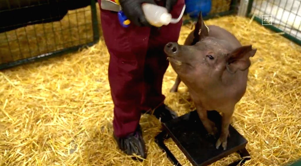 Elon Musk showcases 'fitbit' like device in a pig's brain.