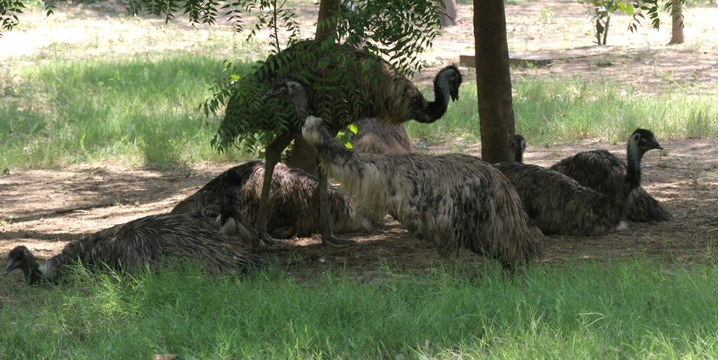 Emus seen inside their enclosure at the National Zoological Park in New Delhi, on June 1, 2019.