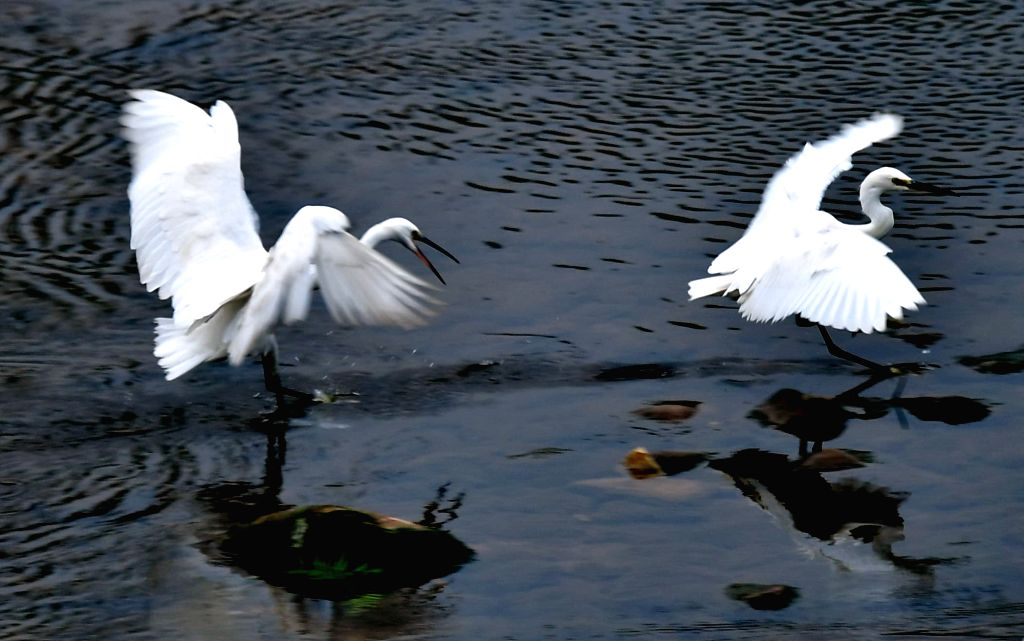 ENSHI, Oct. 3, 2016 - Egrets rest on the Gongshui river in Xuan'en County, central China's Hubei Province, Oct. 3, 2016.