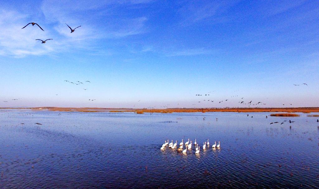 FAKU, Oct. 25, 2018 - White cranes rest on Huanzidong wetland in Faku County of Shenyang City, northeast China's Liaoning Province, Oct. 24, 2018.