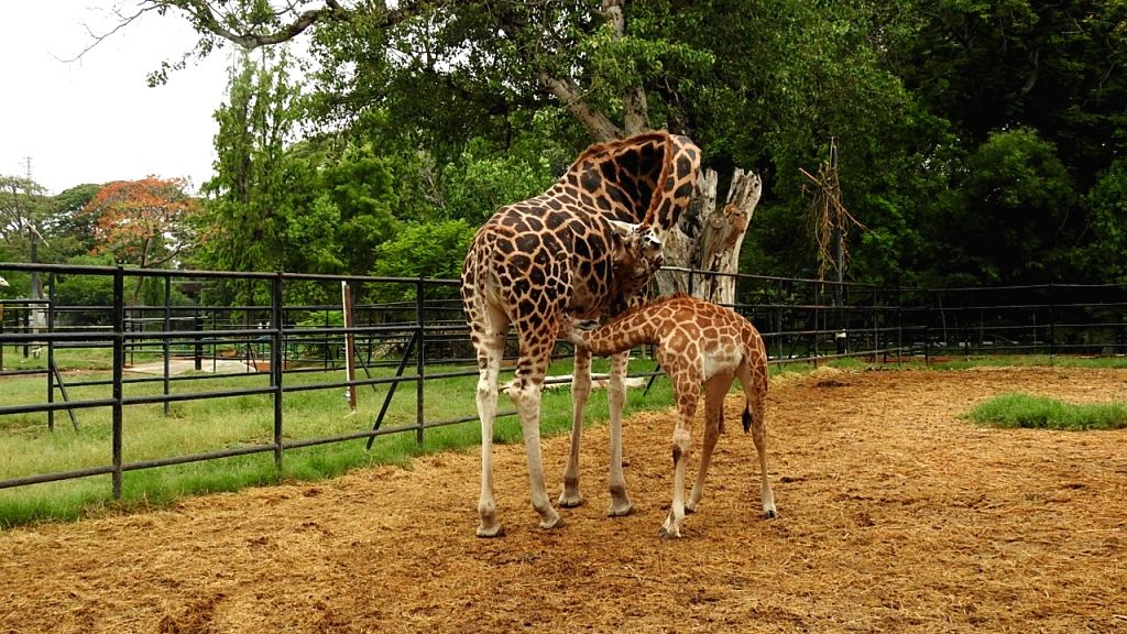 Famous Mysuru zoo turns breeding centre of giraffes