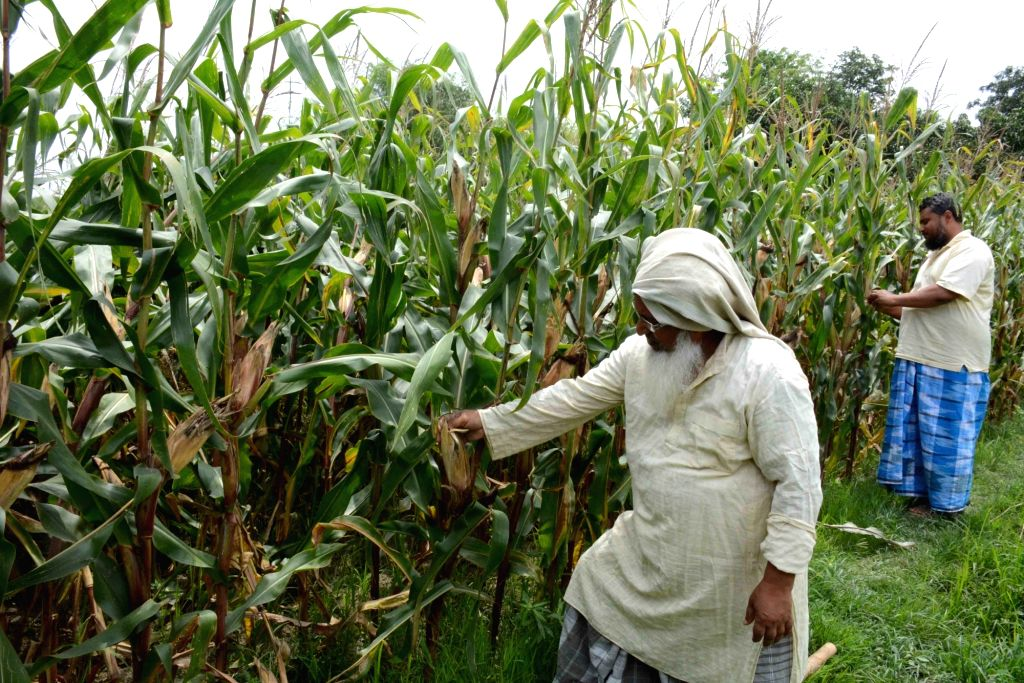 Farmers busy in corn harvesting at their agricultural feild in Patna during the extended nationwide lockdown imposed to mitigate the spread of coronavirus; on Apr 27, 2020. As markets and ...