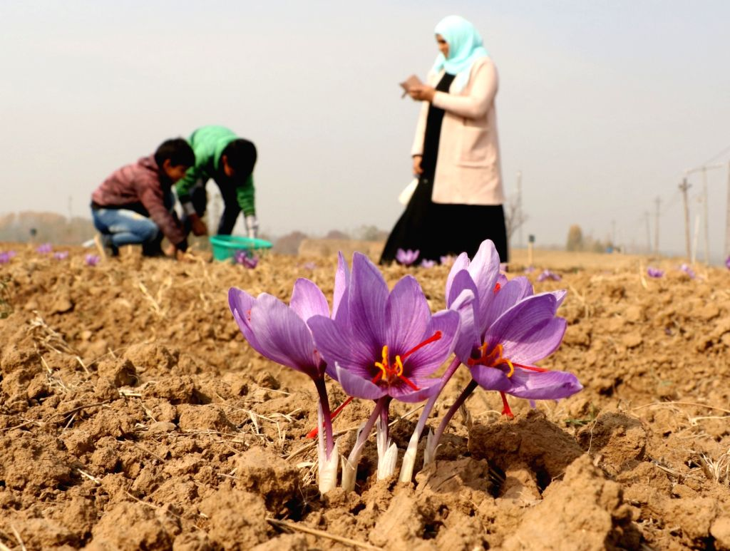 Farmers busy in the cultivation of saffron at a field in Pampore, Jammu and Kashmir on Oct 31, 2018.