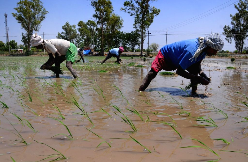 Farmers busy planting paddy saplings at a field near Amritsar, on June 14, 2019. The Punjab government permitted paddy growers to transplant their crops from June 13 instead of June 20, the ...