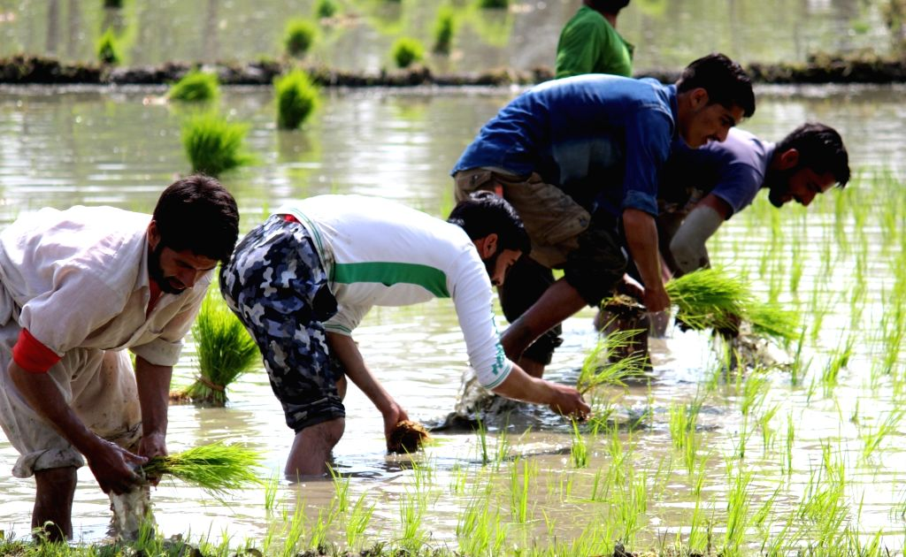 Farmers busy planting paddy saplings in a field on the outskirts of Sopore in Jammu and Kashmir on June 7, 2018.