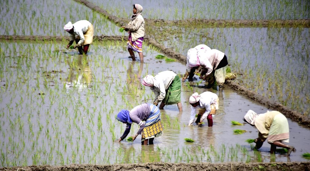 Farmers busy transplanting paddy saplings in a field in Nagaon on March 7, 2019.