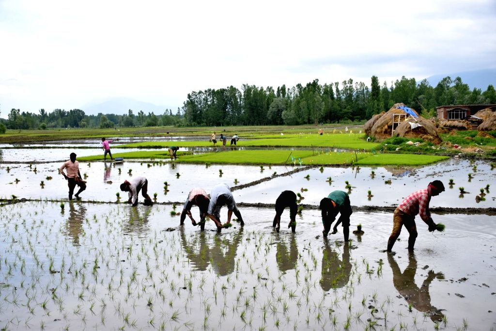 Farmers busy working in a paddy field in Pulwama district of Jammu and Kashmir on May 21, 2018.