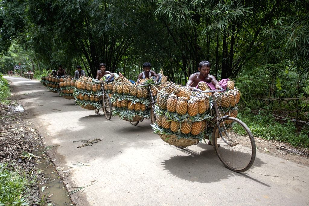Farmers carry freshly picked pineapples to the market on bicycles, in Bangladesh's Madhupur on July 23, 2018.
