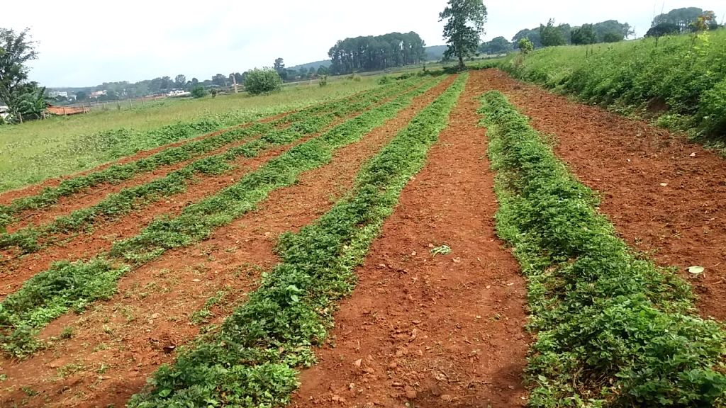 Farmers growing strawberry in Netarhat, Jharkhand.