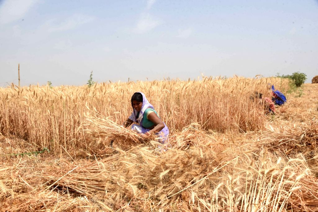 Farmers harvests wheat at a field, as coronavirus cases spike across the country, in Patna on Sunday, April 11th, 2021.(photo:AFTAB ALAM SIDDIQUI/IANS)