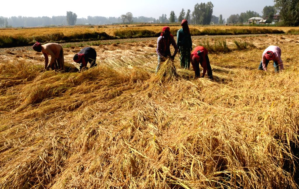 Farmers in Punjab and Haryana cannot reap what they have sown, literally. (Photo: IANS)