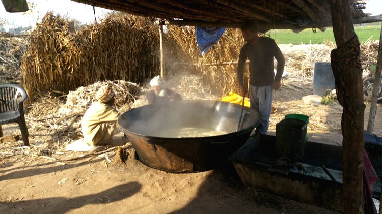 Farmers making Gur in the traditional style in Punjab