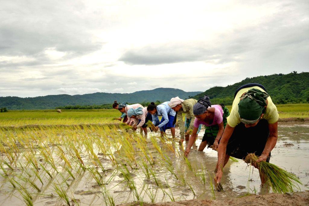 Farmers paddy sapling at Bamuni village, in Nagaon of Assam on July 4, 2016.