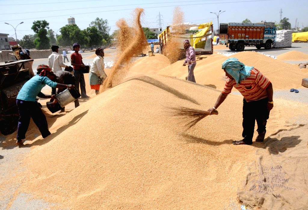 Farmers sorting paddy crop in a grain market of Amritsar on April 21, 2016.